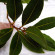 Léčivé účinky bobkového listu